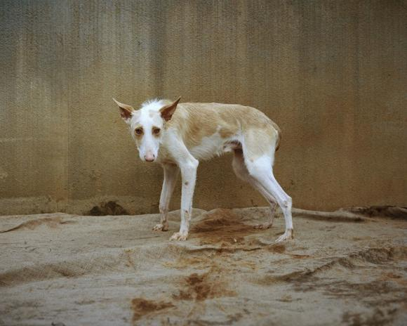 The smaller Podenco © Martin Usborne