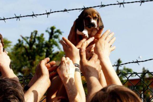 Ein Beagle-Welpe auf den Weg in die Freiheit
