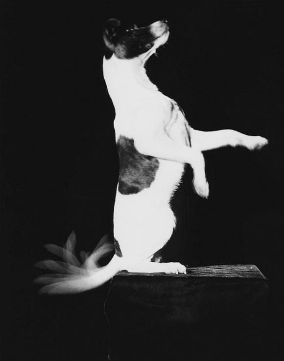 Harold Edgerton, Jackie Wags His Tail, 1948