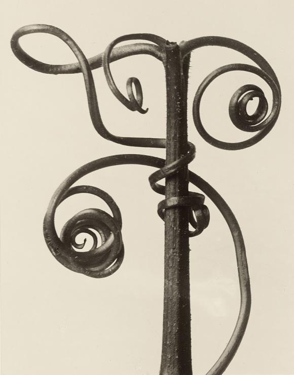 Karl Blossfeldt, Cucurbita, 1928