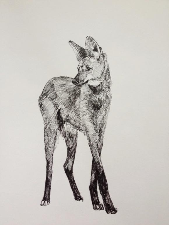 Maned Wolf © Alexandra Loesser